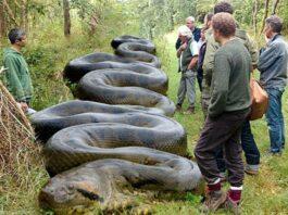 giant snake amongst men