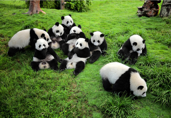 Pandas playing together on grassland at the Chengdu Research Base