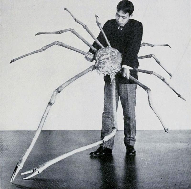 Giant Japanese Spider Crabs